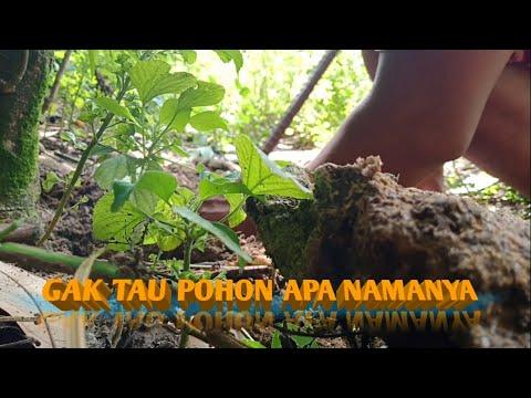 Download BAKALAN BONSAI TUA SAMPE LUMUTAN