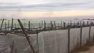 Scoperta piantagione di marijuana sulla s.s. 93 Canosa-Barletta