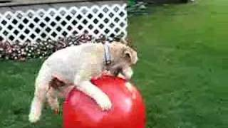 Time to Play Petey Ball - Wheaten Terrier Thumbnail