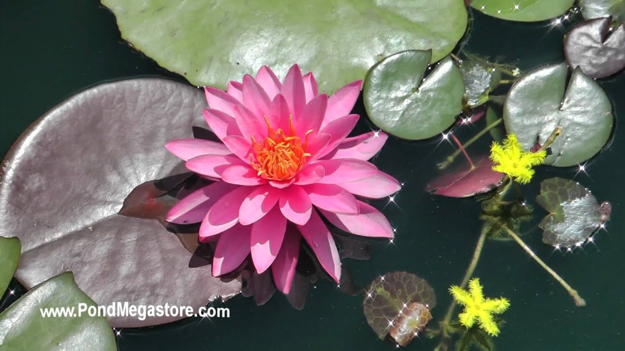 How to plant a lotus youtube - Mayla Hardy Water Lily Flower Planting Waterlilies Growing Waterlilies Youtube