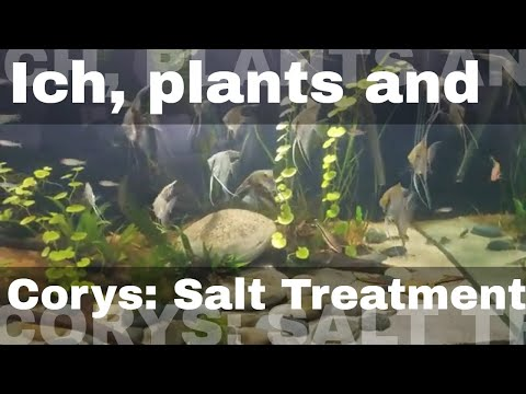 Salt Treating Ich, Plants And Corys.