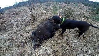polowanie na dzika - gończy polski - wild boar hunting