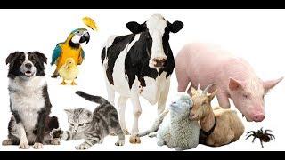 Голоса и Картинки Домашних Животных (Для наших малышей)