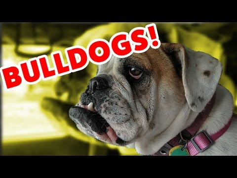 The Funniest Bulldog Videos of 2016 Weekly Compilation | Funny Pet Videos