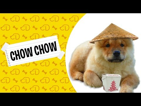 Fatos sobre o Chow Chow!