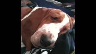 Snoring Basset Hound