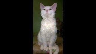 Девон рекс белый кот с зелеными глазами