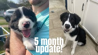 5 Month Old Border Collie Update! | PUPPY TRAINING TIPS
