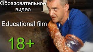 РУМЕНОТОМИЯ (Операция на рубце у коровы).18+ Rumenotomy in cattle.