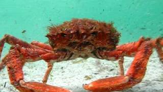 How to film underwater: CLAWS an angry  monster spider crab attacks a diver's camera..