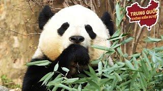 Trung Quốc Lấy Lại Gấu Trúc và Âm Mưu Quyền Lực Mềm Tuyệt Mật   Trung Quốc Không Kiểm Duyệt