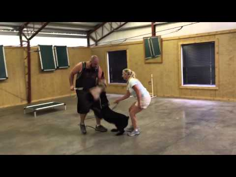 """Giant Schnauzer """"Ginny"""" Protection Trained Home Raised Obedience Dog For Sale"""