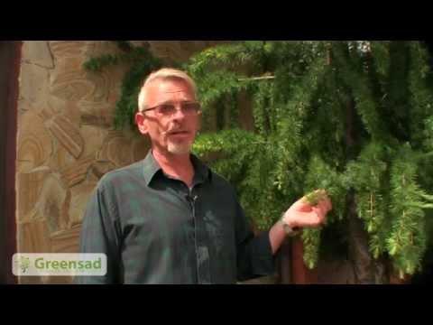 Как выглядит лиственница фото дерево