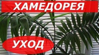 Уход за хамедореей в домашних условиях и пересадка пальмы (фото и видео инструкция)