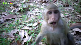 Amazing Baby Monkeys eating lotus from Tourist - Mom give milk for Babies - monkey mating group