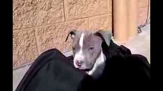 Meet Blue~Blue Pitbull Puppy White Spots Blue Eyes