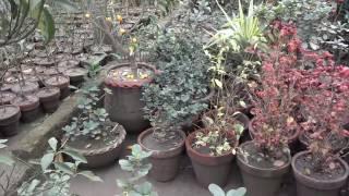 Rose Flower | Red Roses | White Roses | Pink Roses  Nursery | Garden Nursery (Urdu/Hindi)