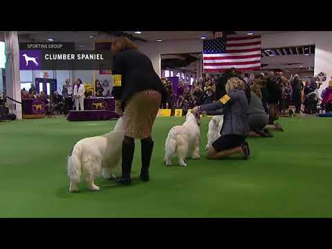 Spaniels Clumber | Breed Judging 2019