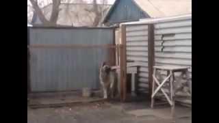 Собака танцует под Модерн Токин