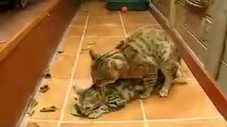Cats sex each other new viral video