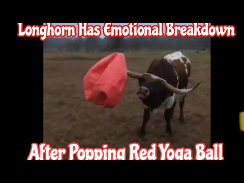 Tony Sandoval on The Breeze - 2 Ton Bull Named Tex is Heart Broken after His Yoga Ball is Deflated