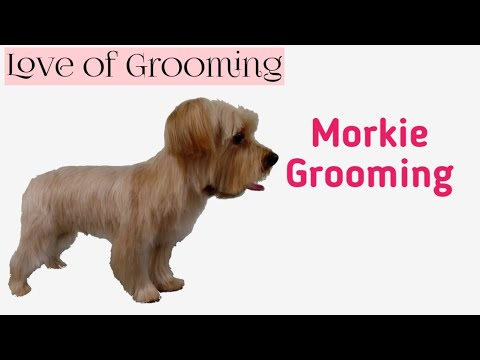 Grooming A Morkie Yorkie Maltese Mix Youtube