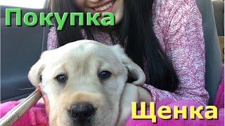 Лабродор, Щенок. Как мы купили собаку в АМЕРИКЕ