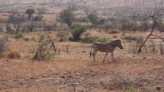 Lions take down zebra at black rhino lodge