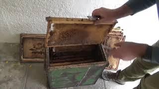 что в ловушке в которой прожили 4 года пчёлы на дереве