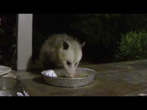 Raccoon vs. Possum | Doovi