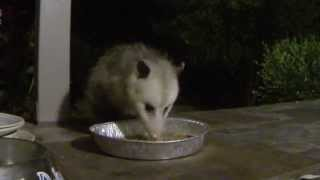 Possum and Raccoon - Our Night-Time Friends