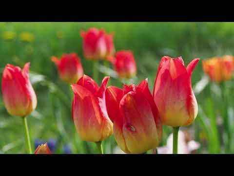 Tulpen. Das Fest der Liebe & Farben.