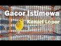 Kenari Gacor Suara Istimewa Kenari Loper  Mp3 - Mp4 Download