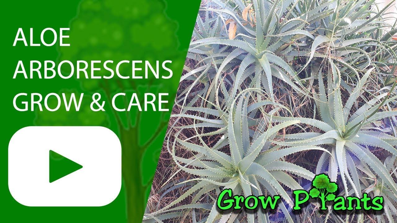 aloe arborescens grow care youtube. Black Bedroom Furniture Sets. Home Design Ideas
