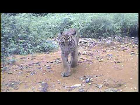 WWF Indonesia - WWF Camera Traps Capture First Images of Tiger with Cubs in Central Sumatra.flv