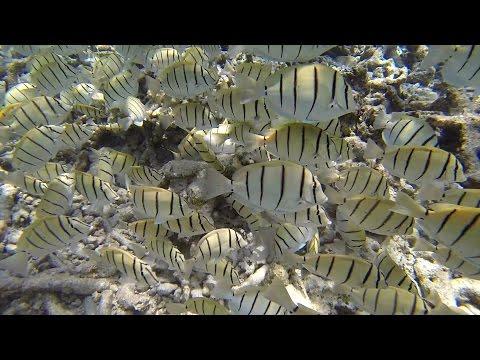 Gitter-Doktorfische / Swarm Acanthurus Triostegus/Convict Surgeonfish