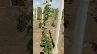 00393497329221 piante di more senza spine, coltivazione di 22.000 m...