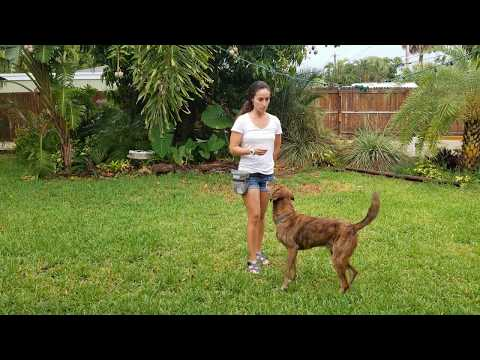 Teaching a dog stay, with more distraction (Part 2)