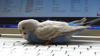 Budgie sleeping on laptop and talking to himself