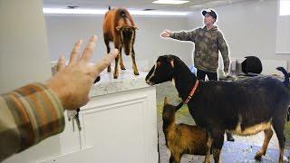 goat-prank-on-tanner-fox