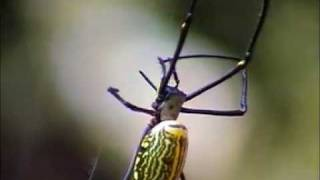 Giant spider Nephila pilipes of Jamuda Padav Melghat by Shirishkumar Patil.mpg