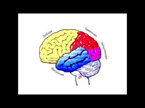 Анатомия. Нервная система