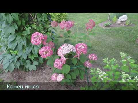✿➽ Цветет гортензия древовидная Invincibelle Spirit в нашем саду 2016 г