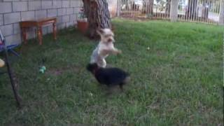 Miniature Pinscher Harassing A Yorkie