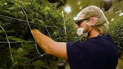 Cannabis Boom in Amerika - So kifft sich Kalifornien reich! - Doku 2017 (NEU in HD)