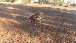 Playfighting Dogs At Brentwood's Barrington Dog Park