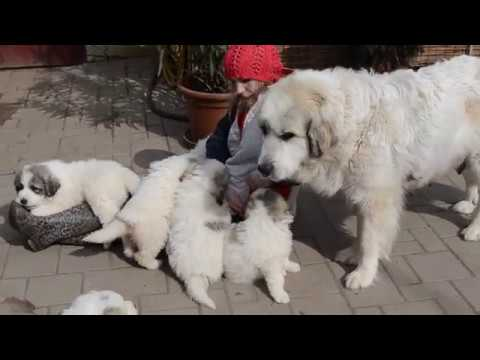 Pyrenean mountain dog puppies Rodentáli kennel 12.03.2017.