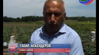 Огуречный бум. В Дагестане аграрии вырастили рекордный урожай этих овощей