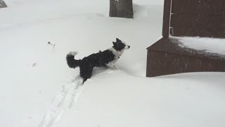 Border Collie's First Snow