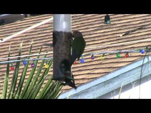 African Lovebirds at Arizona backyard feeder